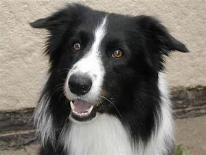 Breed of the Month - The Border Collie