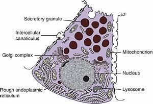 11  Salivary Glands  Salivary Secretion  And Saliva