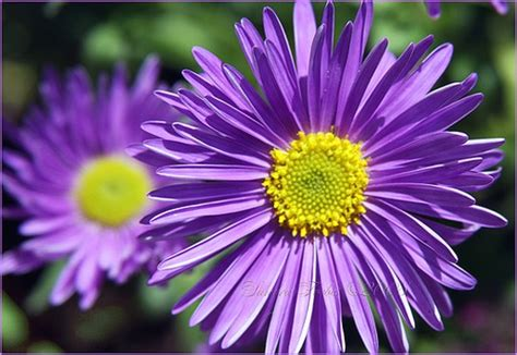 bright flowers pictures bright purple daiy flowers image jpg