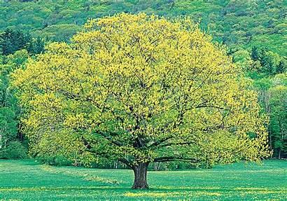 Trees Growing Shade Fast California Northern Oak