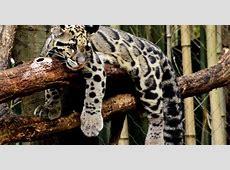 Clouded Leopard « Inhabitat – Green Design, Innovation