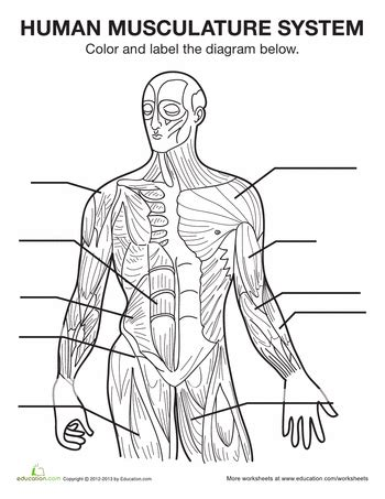 Muscle Diagram  School  Pinterest  Muscle Diagram, Muscle And Human Body