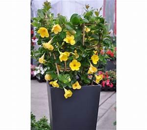 Dipladenia Gelbe Blätter : dipladenia gelb kaufen pflanzen f r nassen boden ~ Udekor.club Haus und Dekorationen