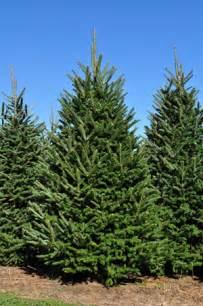 Frasier Fir Christmas Trees by Fraser Fir Christmas Trees Wholesale Fraser Firs