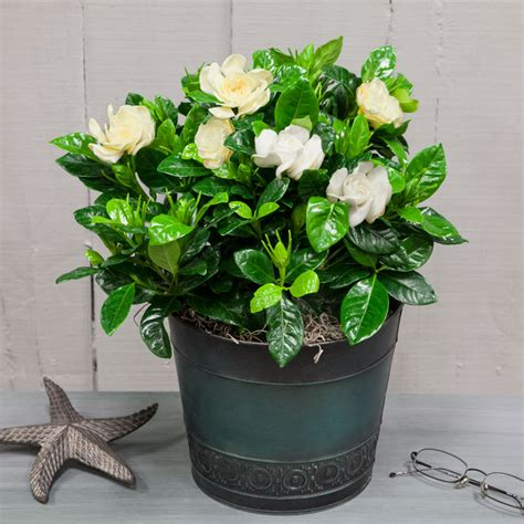 gardenia in a pot gardenia in large rustic blue container flowering plants house plants emilysplants