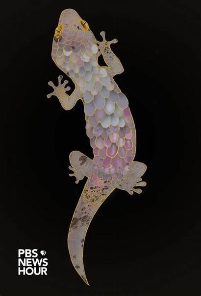 Gecko Skin Geckos Scales Shedding Shed Animation