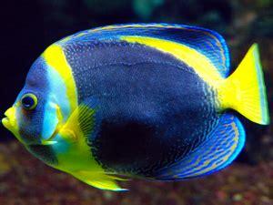scribbled angelfish care size life span tank mates