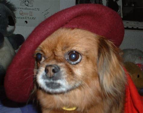 Tibetan Spaniel Dog Breed Information, Puppies & Pictures