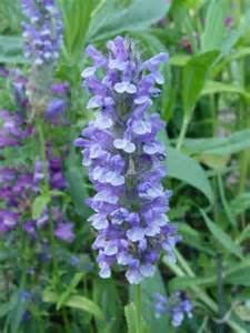 cat mint nepeta nervosa blue moon catmint