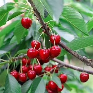 Taille De Cerisier : cerisier bigarreau tardif de vignola taille en gobelet ~ Melissatoandfro.com Idées de Décoration