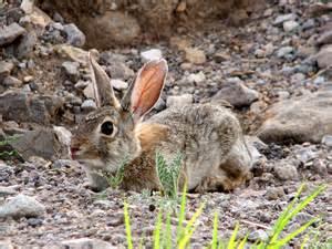 Chihuahuan Desert Animals Names