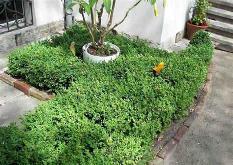 Immergrüne Bodenbepflanzung Mit Buchsbaum Garten Pflanzen