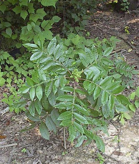 poison sumac poison sumac leaves tree s leaf s pinterest