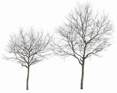 Winter Trees Transparent Platanus Cutout Occidentalis Clipart