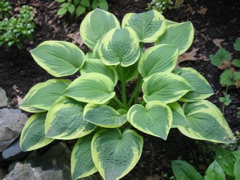 are hostas annuals or perennials journal garden design montreal perennial flower gardens gardening tips gardening advice