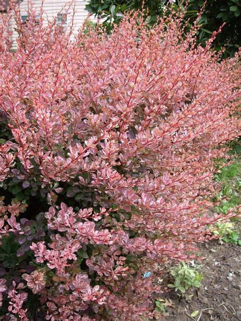 images of shrubs plants japanese barberry quot rose glow quot drought resistant deer resistant plants for texas pinterest