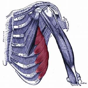 17 Best Images About Serratus Anterior Muscle Pain On