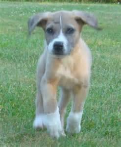 Great Dane Saint Bernard Mix Puppies