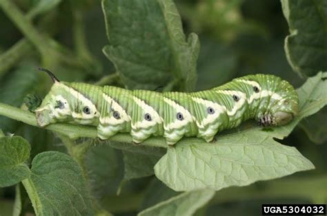 hornworms determining difference walter reeves
