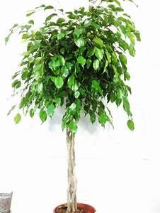 Ficus Benjamini Vermehren : ficus benjamina tige tress houseplants pinterest ficus ~ Lizthompson.info Haus und Dekorationen