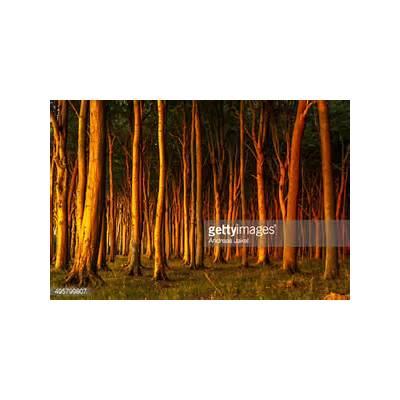 Beech Forest In Evening Light Ghost Nienhagen