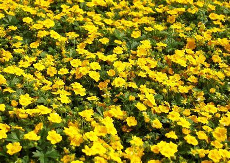 bodendecker gelb blühend potentilla aurea fr 252 hlingsfingerkraut anfang mai