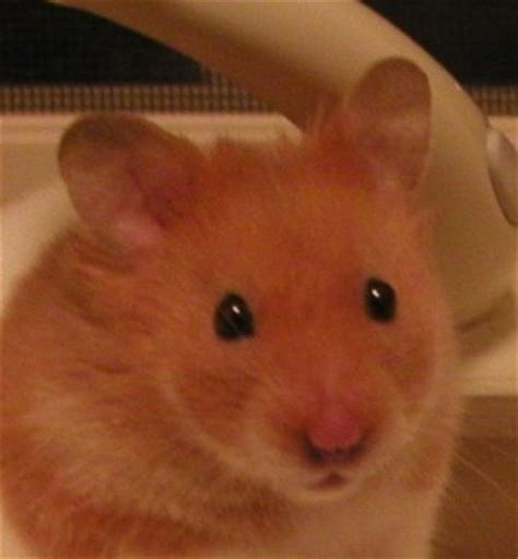 blogger user profile jacob  syrian hamster