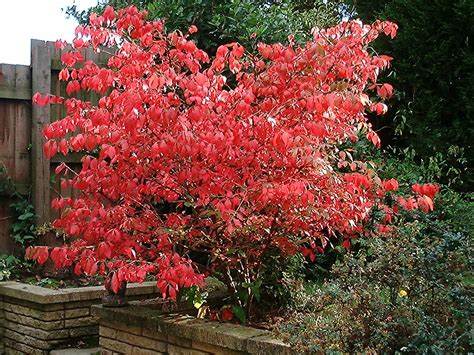 burning bush euonymus alatus wikipedia