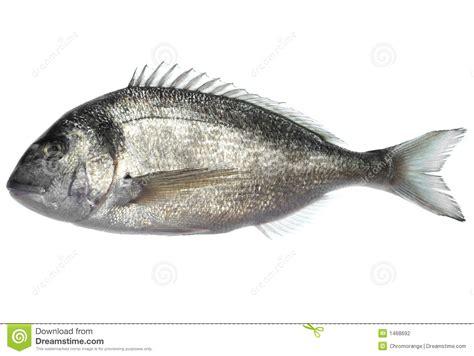 dorade cuisine dorade fish stock photo image of white auratus