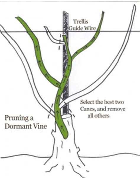 grape vines pruning when to do it and how how to prune a grape vine illustrated