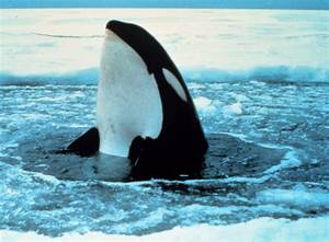 Killer whale|LASP|CU-Boulder