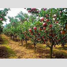 Fuji Apple Trees For Sale  The Tree Center™