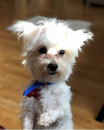Roscoe Dog Rescue Adopted Dogs Maltese Breed