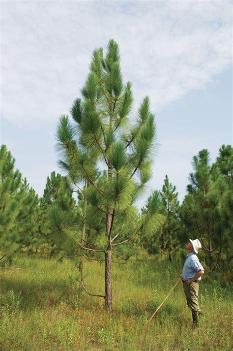 longleaf pine garden gun