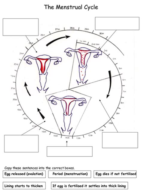 reproduction  menstrual cycle worksheets  teach
