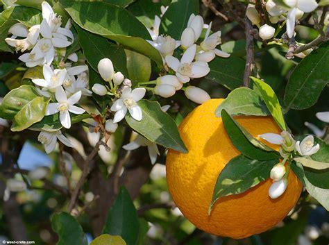 mit fla citrus sinensis orange