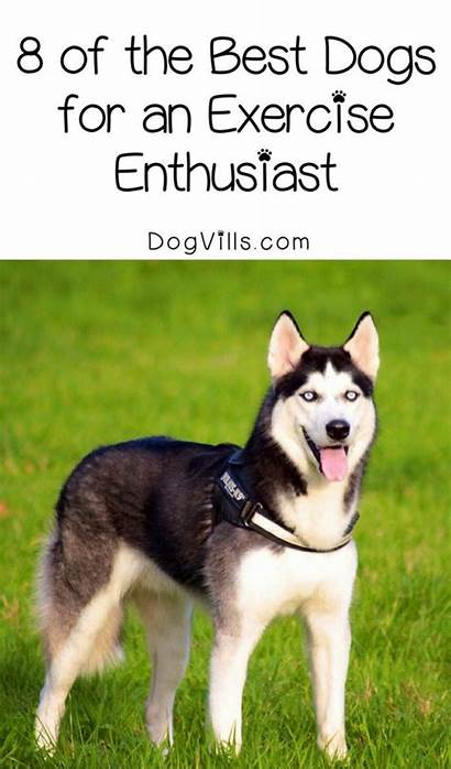 Dog Breeds Exercise Enthusiasts Husky Dogs Siberian