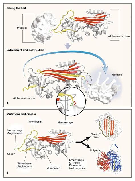 alpha antitrypsin deficiency  model  conformational