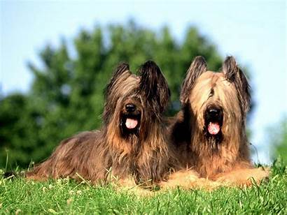 Briard Breed Breeds Guide