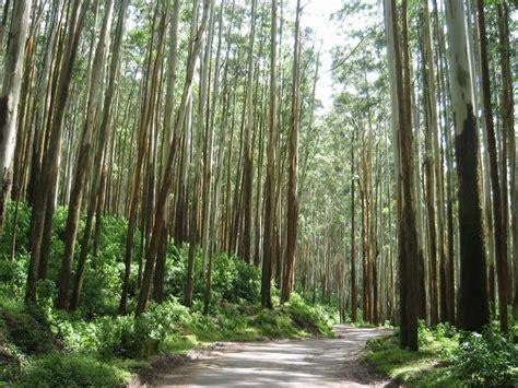 eucalyptus trenches  ooty  photo  tamil nadu