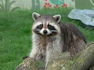 balotelli holly henderson: Cute Raccoon