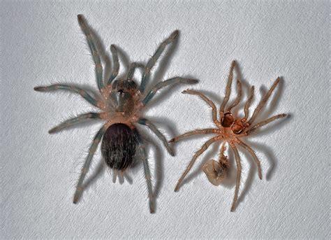 tarantula shedding its exoskeleton curlyhair tarantula brachypelma albpilosum premolt and
