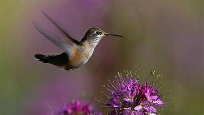Birds Hummingbird Flowers Wallpapers Nature Desktop Bird