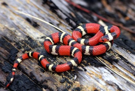 colorful snakes top 13 beautiful and colorful small snake pets