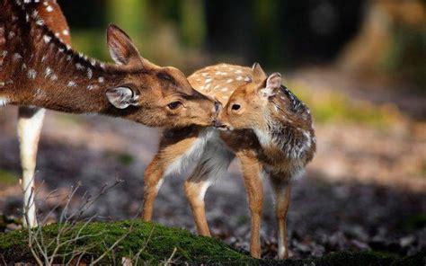 Hd Wallpaper Baby Animals - nature animals deer baby animals wallpapers hd
