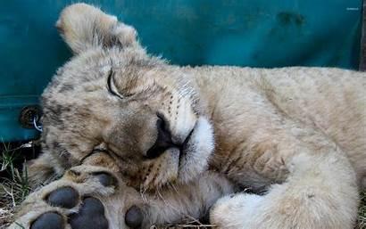 Lion Cub Sleeping Animals Wallpapers Animal