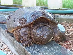 These are Days...: Biggest Snapping Turtle I've EVER seen