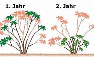 Weinreben Schneiden 1 Jahr : so schneiden sie einen alten rhododendron zur ck pflanze ~ Lizthompson.info Haus und Dekorationen