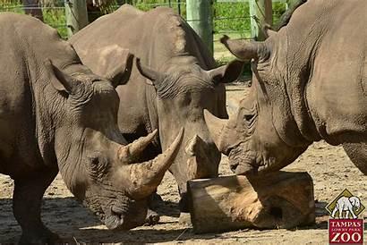 Southern Rhinoceros Rhino Animals