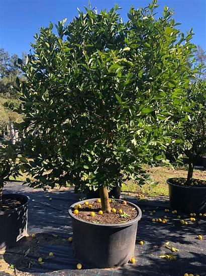 Lime Tahitian Tree Trees Propagating Australia